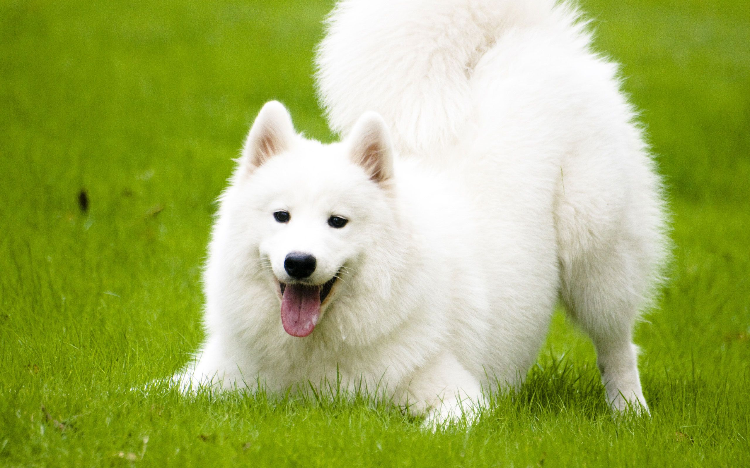 Funny Dog Wallpaper Dog Samoyed 2560x1600 Wallpaper Teahub Io