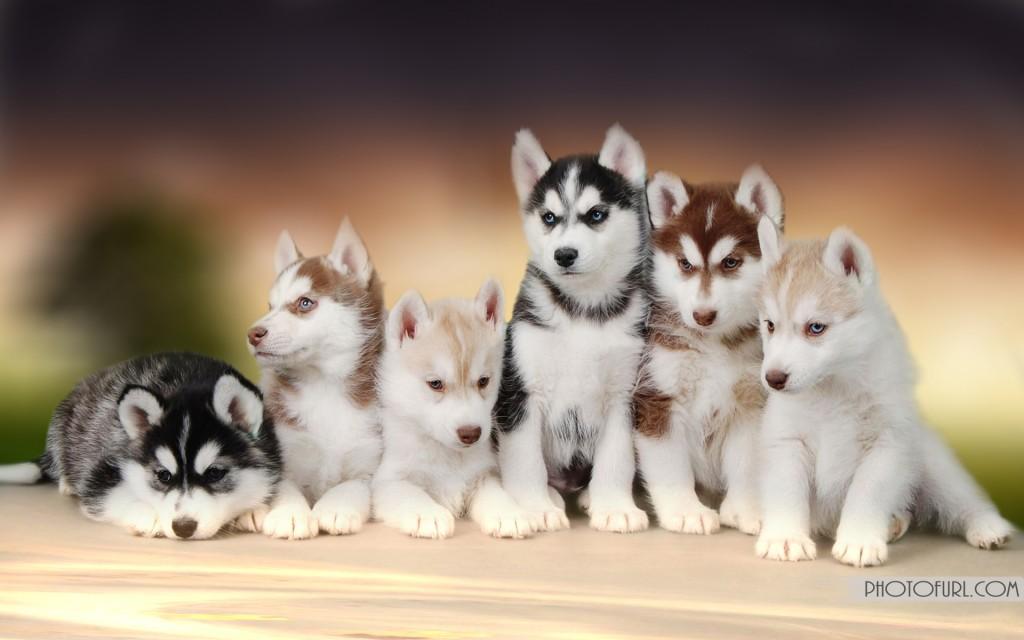 Husky Puppies Wallpapers High Resolution 1024x640 Wallpaper Teahub Io