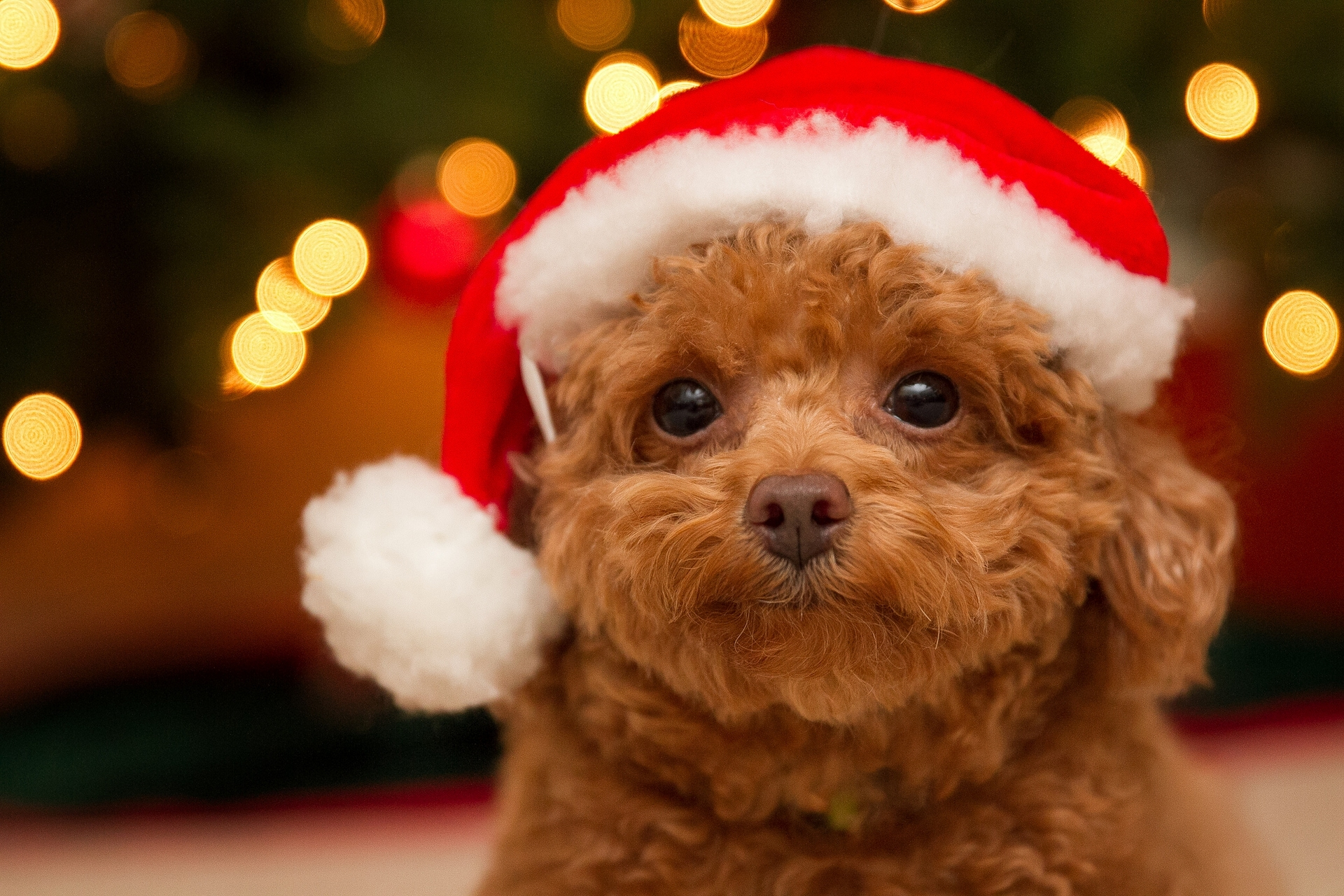 83 836395 christmas wallpaper with dogs