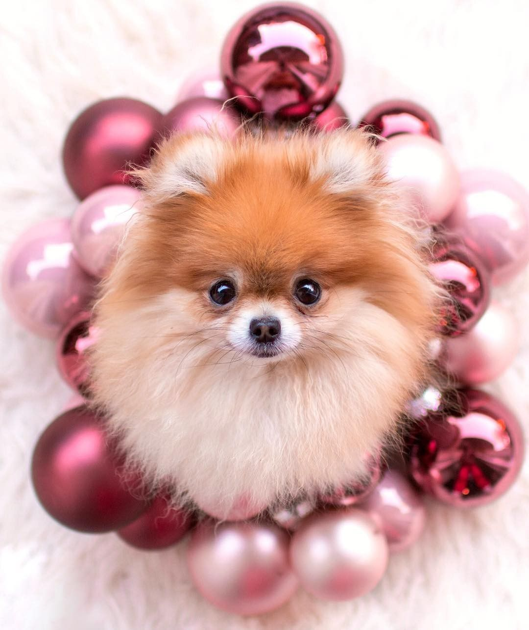 Cute Pomeranian 1080x1284 Wallpaper Teahub Io