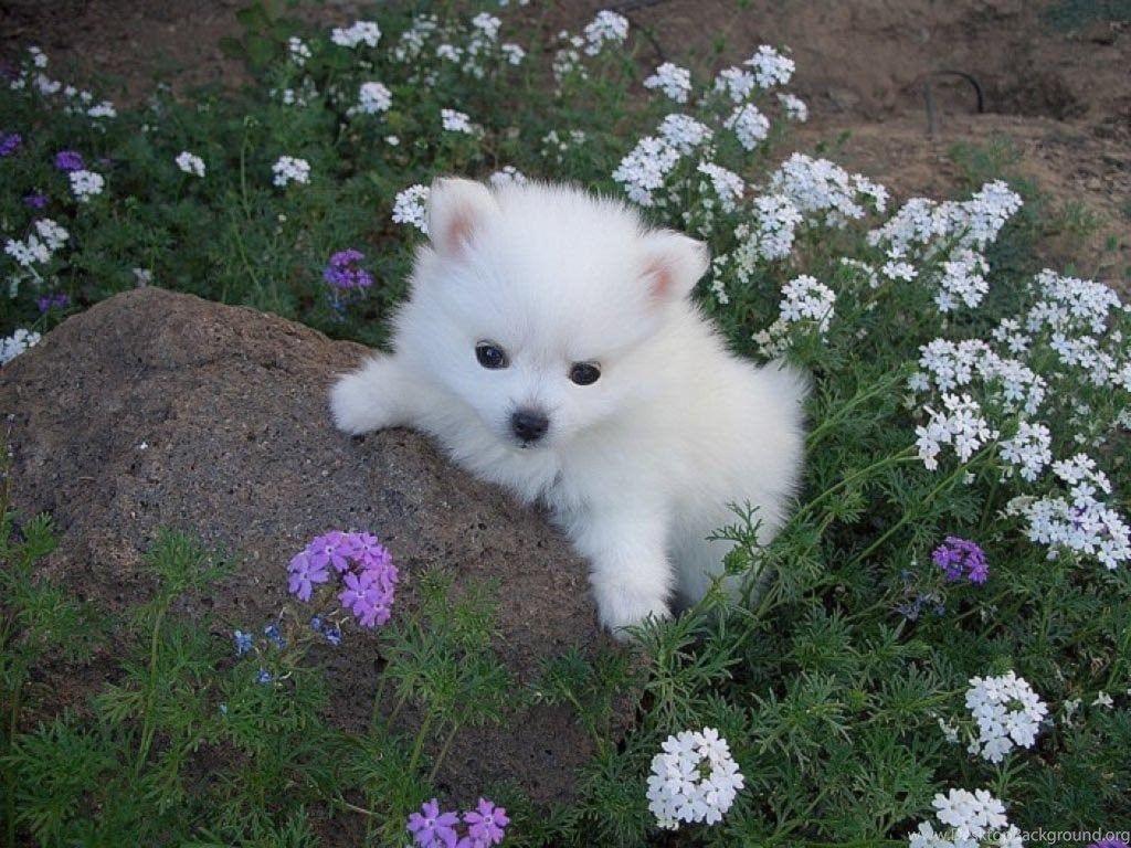 Cute White Puppies Wallpapers Hd Cute White Puppy Id American Eskimo Dog Puppies 1024x768 Wallpaper Teahub Io