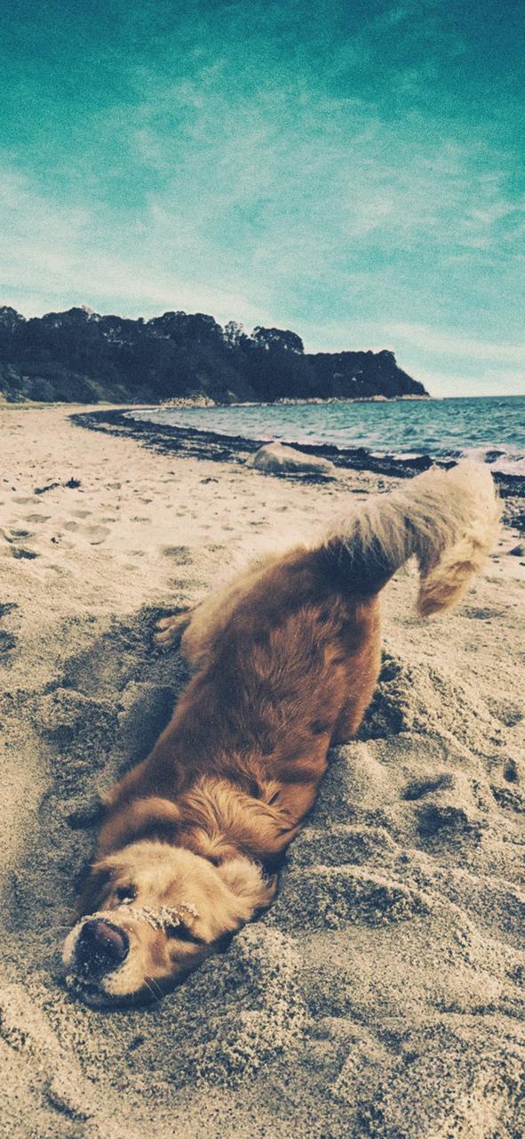 Dog Beach And Animal Image Golden Retriever 591x1280 Wallpaper Teahub Io