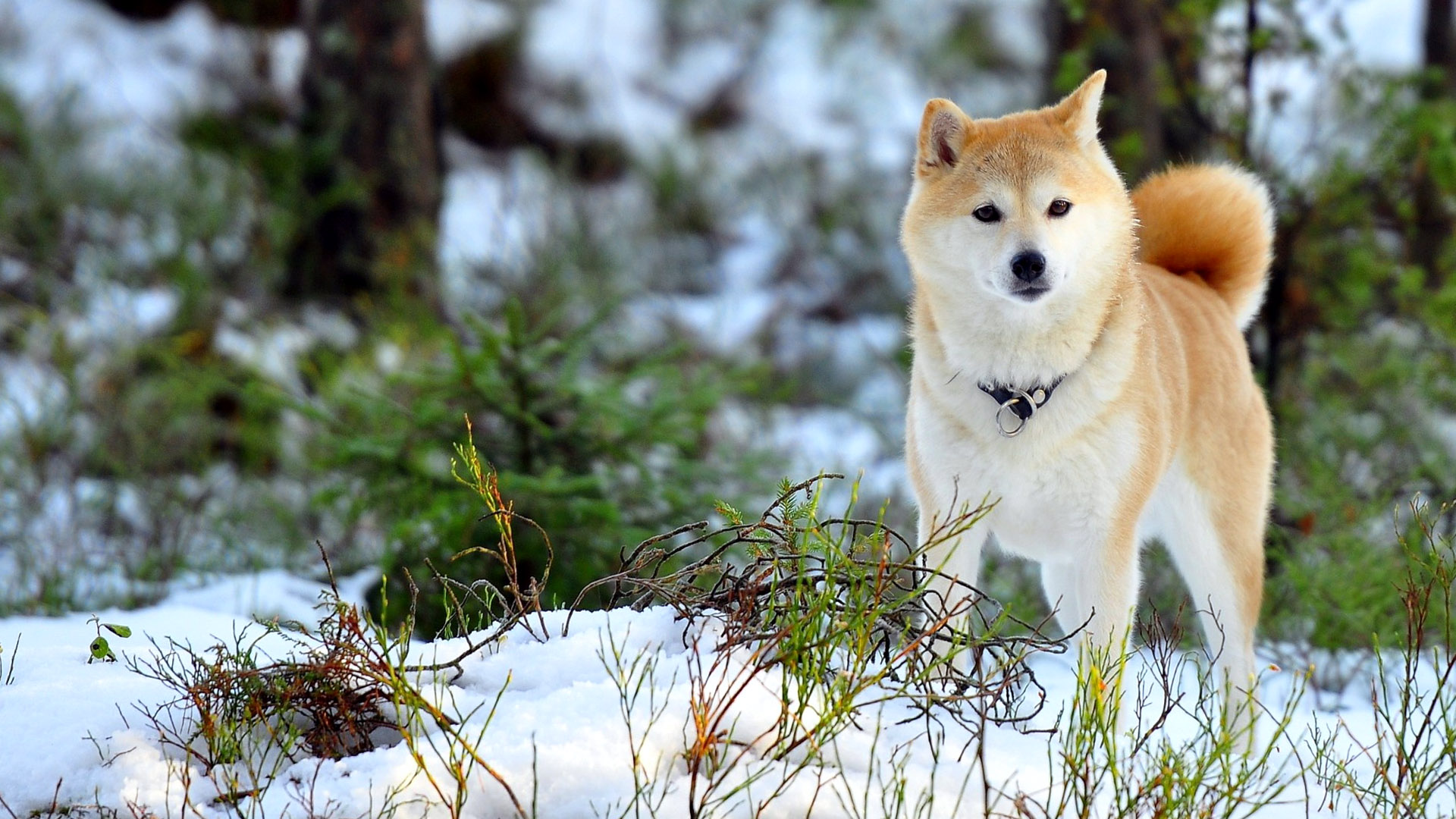 Akita Inu Dog Wallpaper Hd 1920x1080 Wallpaper Teahub Io