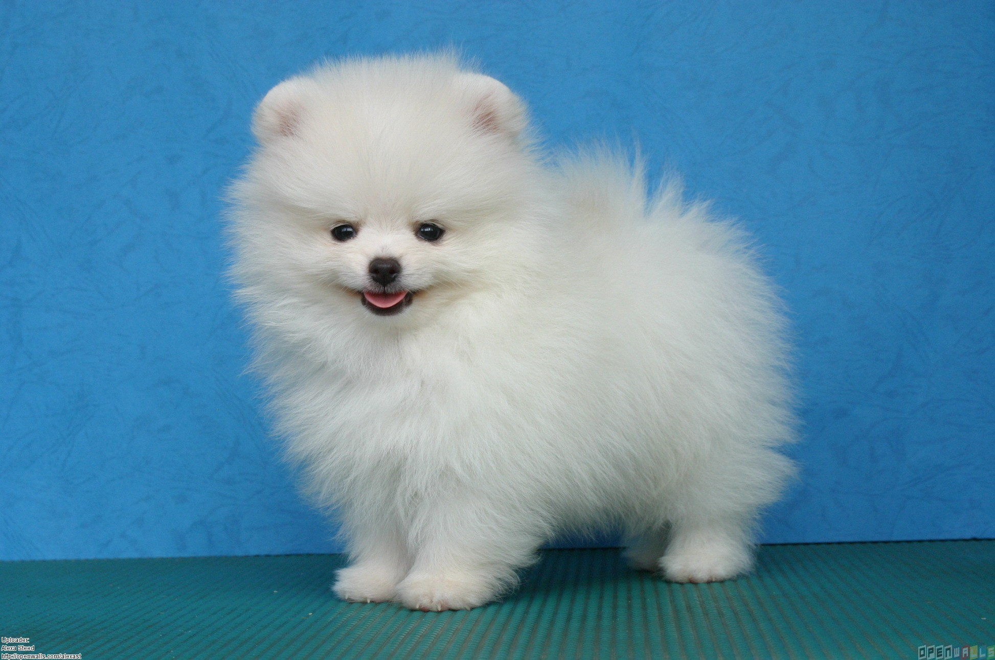 Pomeranian Puppy Wallpapers White Pomeranian Puppies 1946x1292 Wallpaper Teahub Io