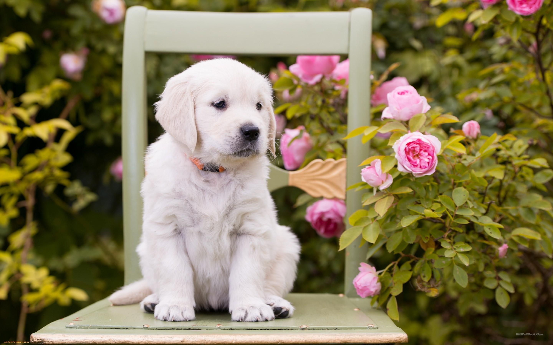 White Puppy 2880x1800 Wallpaper Teahub Io