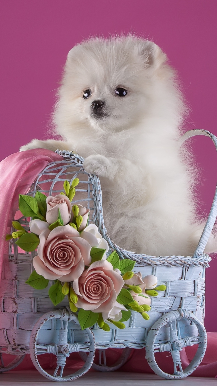 Puppy Wallpaper Pomeranian 720x1280 Wallpaper Teahub Io