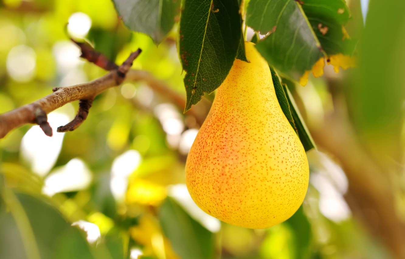 Pear Tree Pictures Download Free Images On Unsplash