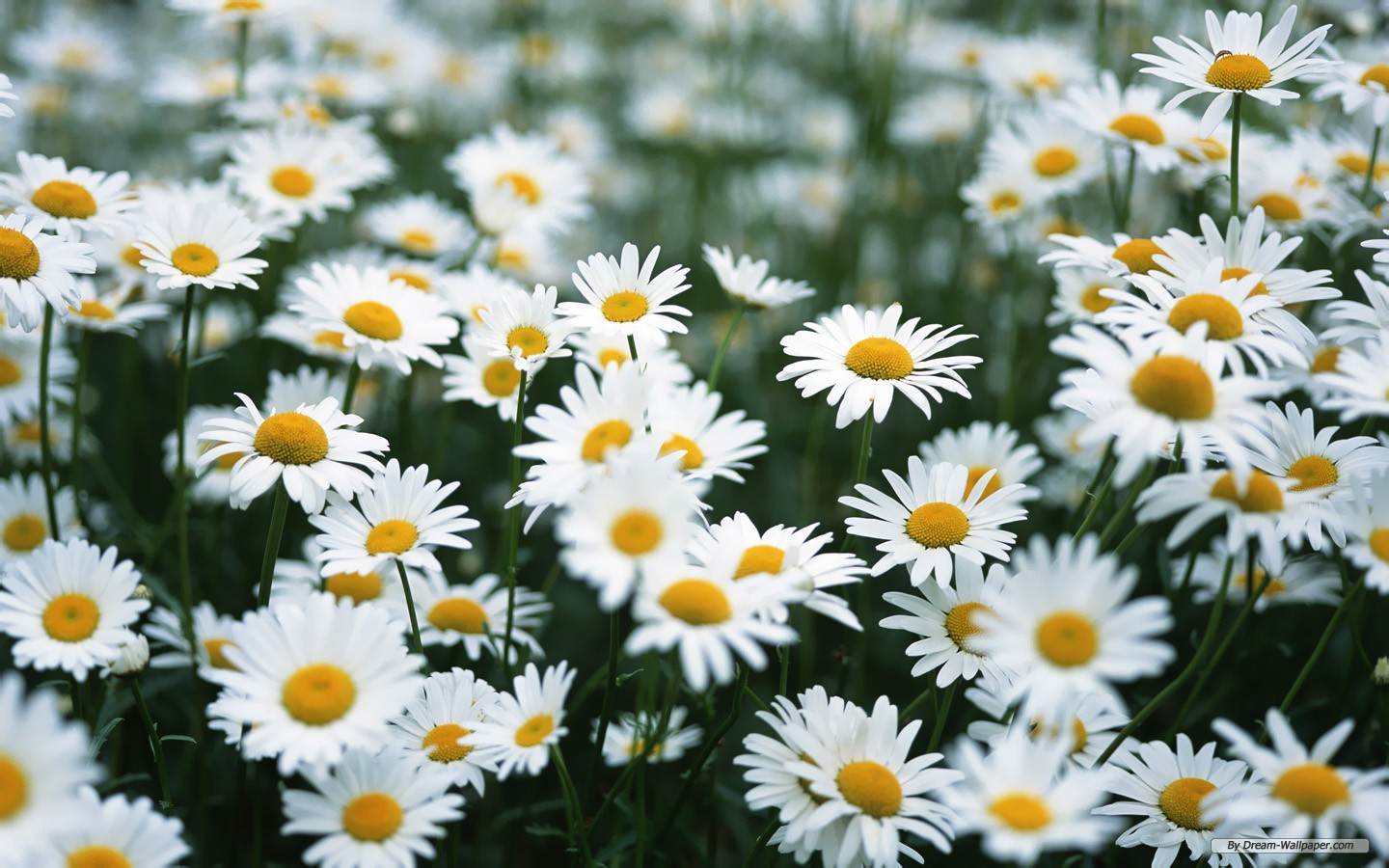 9 99864 daisy flowers tumblr wallpaper for iphone daisies background
