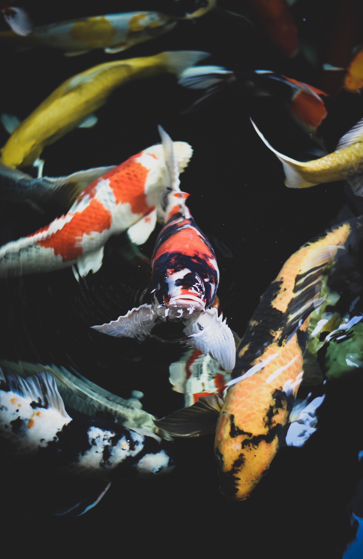 Koi Fish Wallpaper Hd Iphone 3896x6000 Wallpaper Teahub Io