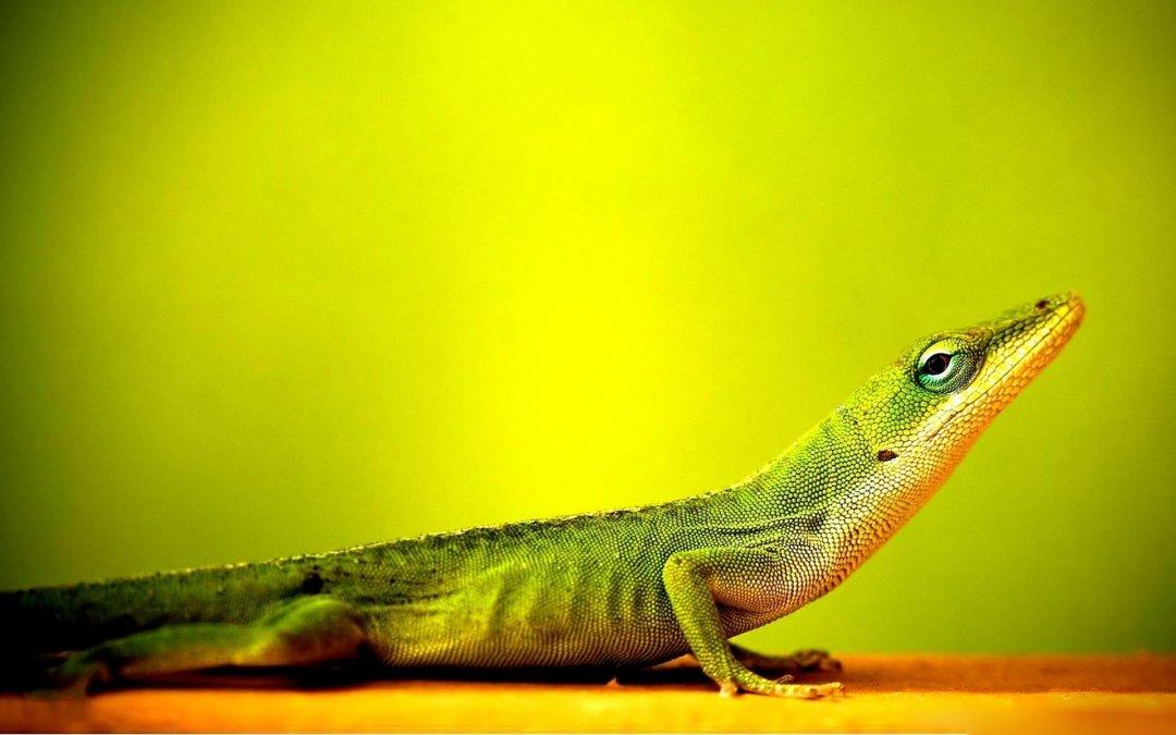 Cute Wallpapers For Your Phone Iphone Best Wonder Animals - Lizard Wallpaper Hd - HD Wallpaper